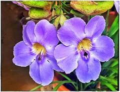 Cores da natureza. #flores #flowers #florzinha #florzinhalinda #naturalbeauty #natureza #naturephotography #jardim #floreslindas #revistaxapury #eunotg #criacaodedeus #obradivina #instaflowers #instaflores #motox2 #instamotox2 #garden #floricultura #intag (ederrabello2014) Tags: instagramapp square squareformat iphoneography uploaded:by=instagram lofi