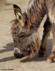 ASINI si nasce (miriamdovidio) Tags: asino mammifero animale cortile puledro