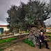 Monumental olive tree of Vuves. Estimated age of 5000 years.