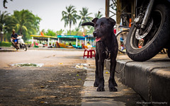 Longing to play (AlexWatson Photography) Tags: dog puppy bestfriend hoian vietnam travel photo photography street asia urban wandering scooter bike pet freedom summer playtime play doggy