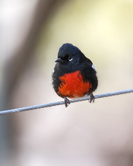 Painted Redstart (wplynn) Tags: maderacanyon santarita mountains mountain tucson greenvalley southern arizona bird birds avian wild myioborus pictus painted redstart