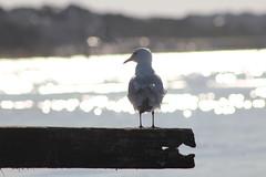 Silver gull | 'Gull of the sunshine water' (natalia.bird_nerd) Tags: bird gull silvergull water ocean portphillipbay morningtonpeninsula blairgowrie