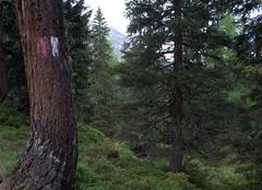 01-IMG_8422 (hemingwayfoto) Tags: österreich austria baum europa fichte hohetauern landschaft nationalpark natur naturschutzgebiet rauris rauriserurwald reise tannenbaum urwald wald