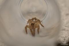 Zoropsis spinimana   Zoropsidae (xilixir) Tags: zoropsidae zoropsis spinimana spider spiders spin sp arachnid araneomorphae araneae nikon nikkor nikonporn nikonusers natureupclose natureloversgallery macro macrodreams macrolife macroworld macros micro macroconverter 40mm 40mmf28 dx dichtbij d3300 dxcamera