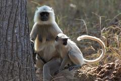 Langurs (Thomas Retterath) Tags: 2017 natur nature india indien asia asien kanha thomasretterath wildlife semnopithecus indischelanguren affen säugetier mammals animals tiere langur