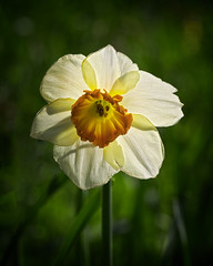 Spring Sunshine (MrBlueSky*) Tags: daffodil flower petal plant garden horticulture nature outdoor colour aficionados pentax pentaxart pentaxlife pentaxk1 pentaxawards pentaxflickraward doublefantasy london kewgardens royalbotanicgardens