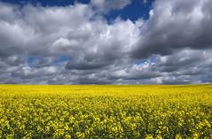 Miro al cielo (Anpegom fotografía) Tags: colza primavera flores amarillo camposdecastilla cielo nubes