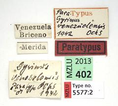 Gyrinus venezolensis Ochs, 1953 (Biological Museum, Lund University: Entomology) Tags: coleoptera gyrinidae gyrinus venezolensis mzlutype05577