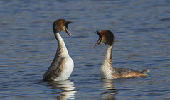 Grebes in love (Ann and Chris) Tags: grebes ducks wildlife wings wild waterbird feathers avian birdwatching birding beak canon brandon