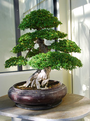 Bonsai, National Arboretum 127632 (thw05) Tags: art bonsai dc nature northamerica penjing people places thwilliamsphotography thomashwilliams thwphotoscom trees usnationalarboretum us usa washington tree plant