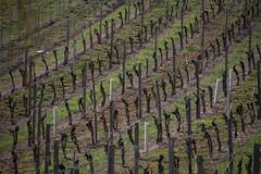 2017-04-01 Weinprobe 0477 (waltemi) Tags: 2017weinprobe thüngersheim weinstock bayern deutschland de