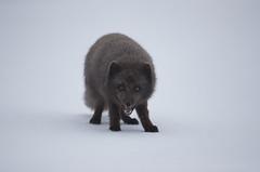 Iceland (richard.mcmanus.) Tags: iceland westfjords nationalpark snow winter arcticfox arctic animal wildlife mcmanus bluephase hornstrandirnationalpark fox gettyimages