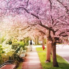 Sakura series (Nick Kenrick..) Tags: sakura blossoms spring fisgardstreet chinatown