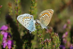 Silver-studded Blues (Plebejus argus) - explore (A1yson) Tags: butterflies mating springwatch plebejusargus silverstuddedblue abigfave