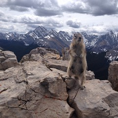 Awesome little dude, at the summit of Sulphur Ridge, Jasper NP [Explored] (WherezJeff) Tags: canada squirrel jasper ground alberta canadianrockies jaspernp goldenmantled sulphurridge