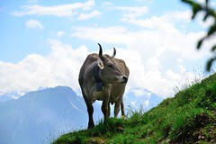 On mount Pilatus - Switzerland (Werner_B) Tags: summer mountain alps nature berg landscape schweiz switzerland kuh cow natur pilatus alpen lucerne landschaft luzernpilatusmountainlandscapeswitzerlandschweizalpsalpenberglandschaftnaturesummernatur