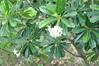 Ah, frangipani flowers! (shankar s.) Tags: southeastasia buddhism lp frangipani laos wat buddhisttemple luangprabang chedi freshflowers buddhistshrine laopdr unescoworldheritagecity buddhistreligion buddhistfaith phrathatkhongsantichedi