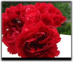 red ones - rouge - rote Nelken - Dianthus (eagle1effi) Tags: red flower macro rot canon rouge flora framed powershot dianthus sx1 nelken nelke flowersasart sx1best supermacroon2 sx1top