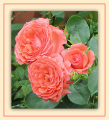 Victorian Coral (bigbrowneyez) Tags: new flowers roses nature beautiful leaves coral ruffles happy petals dof gorgeous blossoms victorian natura excited romance special dolce fancy surprise stunning belle romantic bud fiori fabulous striking mindblowing mybackgarden bellissime climbingrosebush miogiardino victoriancoral