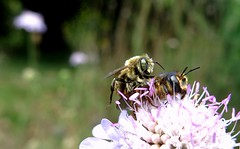 Lithurgus chrysurus mf - 22 VII 2014 (el.gritche) Tags: hymenoptera france 40 garden megachilidae lithurgus lithurguschrysurus couple mating bee abeille