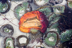 Between Pacific Tides (Jill Clardy) Tags: ocean california sea orange beach water ed sand state pacific grove tide low salt sealife anemone pools slug aquatic doc asilomar tidal specimens ricketts 4b4a5457