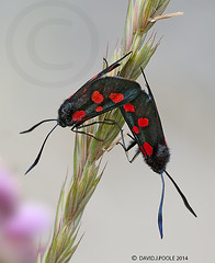 Six Spotted Burnet Moths mating. (Crazybittern1) Tags: moths sixspotburnet sigma70300mmmacro foulshawmoss nikond7000 cumbriawildlifetrust