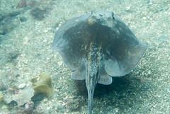 DSC_8213.jpg (d3_plus) Tags: sea sky fish beach japan scenery underwater stingray snorkeling  shizuoka    izu     underwaterphoto skindiving minamiizu     nikon1    nakagi  nikon1j1 1nikkor185mmf18  beachtogai misakafishingport