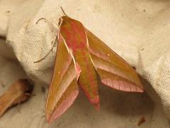 Deilephila elpenor (dhobern) Tags: june denmark europe lepidoptera sphingidae macroglossinae 2014 søborg elpenor deilephila