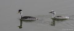 Clark's Grebes - Parent and Juvenile (Bob Gunderson) Tags: sanfrancisco california birds northerncalifornia lakemerced concretebridge grebes clarksgrebe aechmophorusclarkii
