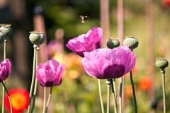 papaver poppies [explored] (carol_malky) Tags: pink flowers day bokeh sunny poppies mauve papaver explored