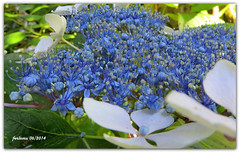 Oca (Pontevedra) Pazo de Oca_26 azul (ferlomu) Tags: arbol azul ferlomu flor galicia jardín naranjas pazodeoca pontevedra flower