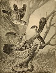 Anglų lietuvių žodynas. Žodis owlish reiškia a pelėdiškas, panašus į pelėdą lietuviškai.
