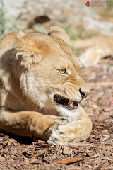 My precious. (Raveniith) Tags: wild nature animal female cat canon zoo big sweden eating african wildlife teeth lion meat hungry usm wilderness paws lioness ef claws guarding 70200mm djurpark bors f28l canon60d