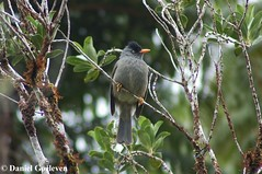 Reunion Bulbul - Merle de Bourbon (Hypsipetes borbonica), Pycnonotidae (Daniel.Goeleven (Wildlife & Biodiversity)) Tags: oiseau runion bulbul pycnonotidae hypsipetes