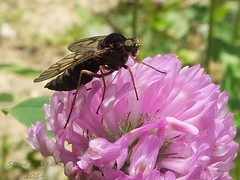 Snipe Fly_2014.06.03 (2 of 3) (Urutu_From_SW_PA) Tags: fly clover diptera redclover trifoliumpratense trifolium snipefly rhagio