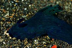 Nudi (kayak_no1) Tags: macro uw indonesia nikon underwater scuba diving scubadiving nudibranch supermacro nudi underwaterphotography 105mm diopter 105mmvr lembehstrait subsee10 nauticamhousing d800e ysd1