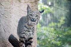 Lucid Lynx (Belhor_) Tags: wild nature cat mexico zoo leon sight amateur lynx eyesight willife zooleon