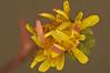 Groundsel Senecio vulgaris (6) (Ben Grader) Tags: england plant flower macro closeup leaf petals stem weed view sony picture somerset scene petal tamron stalk wessex groundsel seneciovulgaris dioptre dioptres slta77