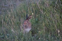 Ordd hare (tobbee) Tags: gotland semester storakarls skogshare