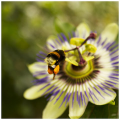 Bumble bee (Maw*Maw) Tags: flower photoshop canon eos flying bee honey crop 7d pollen cs6
