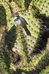 AV02a 081814 Cactus Wren (Campylorhynchus brunneicapillus) 1D 081814 (evimeyer) Tags: cactuswren campylorhynchusbrunneicapillus ranchopalosverdes altavicente cactuswrenmonitoring2014