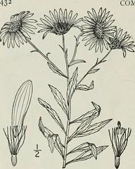 Anglų lietuvių žodynas. Žodis aster acuminatus reiškia arvydas acuminatus lietuviškai.