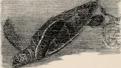 Anglų lietuvių žodynas. Žodis chelonidae reiškia <li>chelonidae</li> lietuviškai.