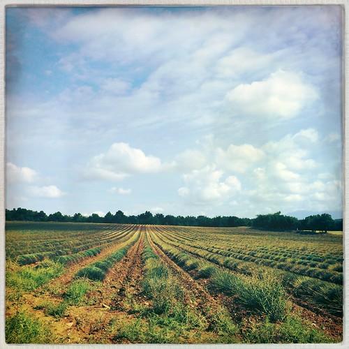 Lavander field #provence #lavander #nature #sky #clouds #hipsta_junky #picoftheday