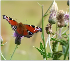 Peacock Butterfly (eric robb niven) Tags: butterfly cycling scotland dundee angus peacock thistles bridgefoot ericrobbniven lumixfz72