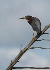 Hron vert (monilague) Tags: bird heron water insect duck eau dragonfly vert marsh marais canard insecte oiseaux libellule hron grren