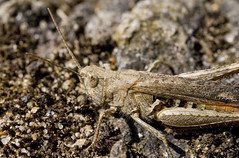 Just Blending In (Helmet Betty) Tags: macro nature insect wildlife grasshopper