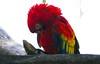 Red Guacamayo Close (copito_m) Tags: naturaleza color nature animal nikon animales mywinners abigfave aplusphoto
