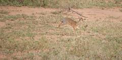 Kenia-Tanzania_Agosto2014_2781_25072014.jpg (rostras) Tags: animal kenia correr gacela mamífero áfrica ungulados serengetiparquenacional