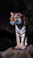 The Striped Beast (AJFStuart) Tags: orange black nature animal zoo tiger safari bigcat beast predator tiergarten tier